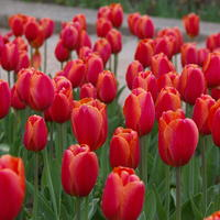 Тюльпаны Триумф. Любуемся дебютантами выставки в Никитском ботаническом саду