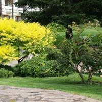 Древесные с желтыми листьями – находка для дачника