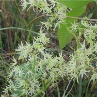 Помогите опознать растение