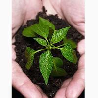 Перец – особенности ухода, посадки и выращивания