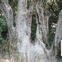 Маслина европейская - старейшее дерево Украины