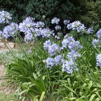 Агапантус - цветок небесной чистоты