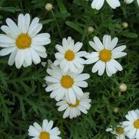 Аргирантемум: цветение длиною в целое лето