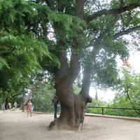 Дубы-старожилы Никитского ботанического сада