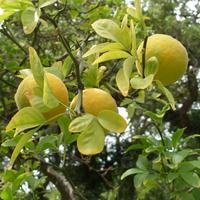 Созревают плоды понцируса