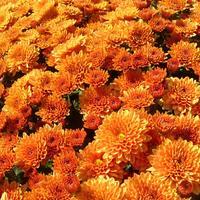 Цветут хризантемы