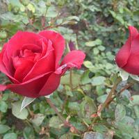 Цветут розы в октябре