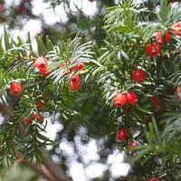 Тропинки и дороги тиса ягодного