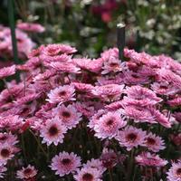 Розовые, сиреневые, лиловые мелкоцветковые хризантемы осеннего бала Никитского ботанического сада, часть 2