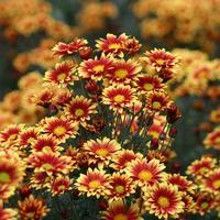 Двухцветные хризантемы осеннего бала Никитского ботанического сада