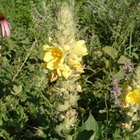 Коровяк густоцветковый – «царский скипетр» для дачи