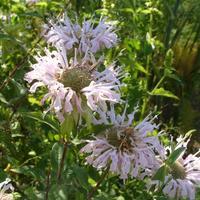 Монарда дудчатая - пряность с цитрусовым ароматом