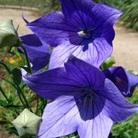 Ширококолокольчик крупноцветковый – непревзойденный создатель холодной гаммы