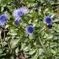 Что за неизвестное голубое растение апреля?
