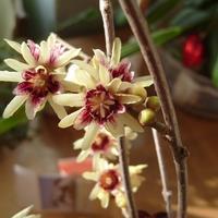 Зимоцвет ранний – феерия цветения в зимнем саду