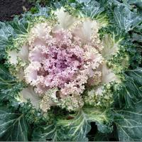 Зимняя красавица – капуста декоративная