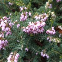 Цветет эрика травяная