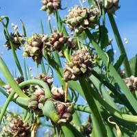 Настоящий экзот лукового семейства – лук многоярусный
