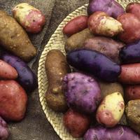 Жёлтый, красный, фиолетовый картофель – красота в огороде и на столе