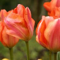 5 апреля - открытие выставки тюльпанов в Никитском ботаническом саду (Крым)