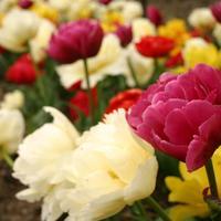 10 лучших сортов Махровых Ранних тюльпанов