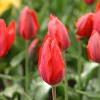 21 именной тюльпан
