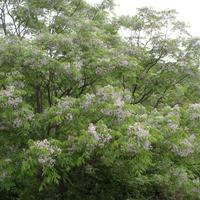 Роскошь цветения мелии иранской