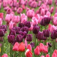 Отечественные сорта тюльпанов