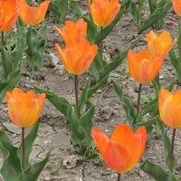 Открытие выставки тюльпанов Никитского ботанического сада