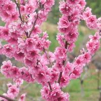 Декоративные персики, мастер-класс