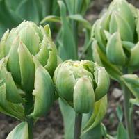 Чудесное перевоплощение тюльпана Brooklyn
