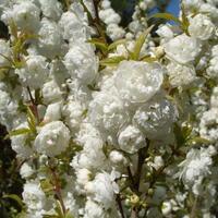 Белая пена вишни железистой
