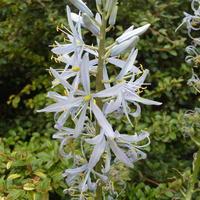 Редкая гостья цветников – камассия