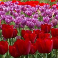 Тюльпаны крупными мазками, или Крымский Кёкенхоф