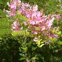 Деревья и кустарники рядом с нами: 9 прекрасных представителей семейства Бобовые, или Мотыльковые