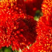 Бал хризантем 2016: крупноцветковые сорта