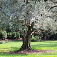 Серебристолистные древесные — холодная красота для изысканных композиций
