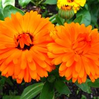 Однолетники - простой способ украсить цветник