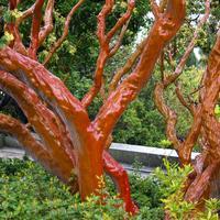 Красота вне сезона: деревья и кустарники с необычной корой