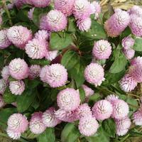 Растения с шаровидными соцветиями – изюминки дачных клумб