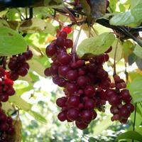 """Плод пяти вкусов"" - лимонник китайский"