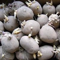 Выращиваем картофель