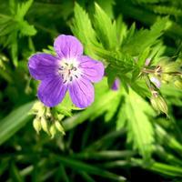 Лесные и полевые растения в саду: герани