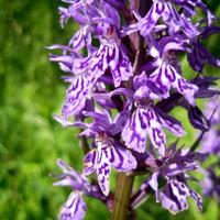 Ятрышник - дикорастущая орхидея северных широт