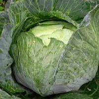 Почему трескаются кочаны капусты и как этого избежать?