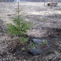 Время сажать елки!