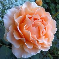 Важные тонкости обрезки роз