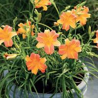 Лилейники серии ЭвериДейлили – компактные кусты с очаровательными цветами