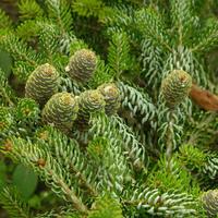Пихта и псевдотсуга: не путать с елками!