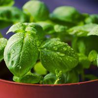 Рецепты здоровья: базилик для улучшения пищеварения